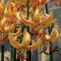 Мартагон лилия «Guinea Gold»