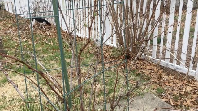 В апреле хорошо осмотрите кусты малины на наличие болезней и вредителей