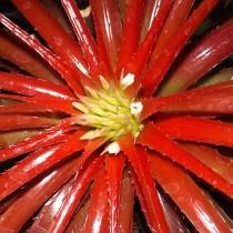 Ортофитум лодочковый, или Ладьевидный (Orthophytum navioides)