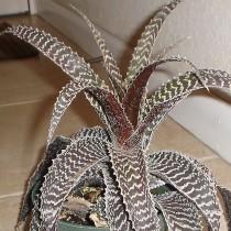 Ортофитум Гуркена (Orthophytum gurkenii)