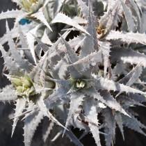 Ортофитум скальный (Orthophytum saxicola)