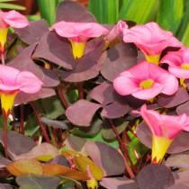 Кислица пурпурная (Oxalis purpurea)