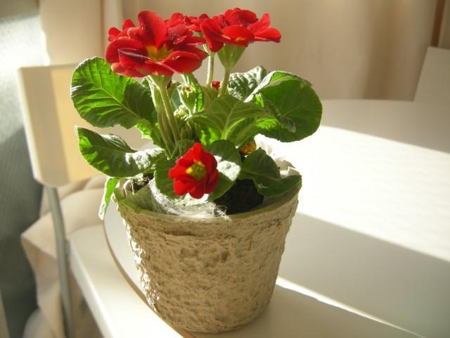 Чаще всего, растения западной селекции маркируются и продаются, как Juliae Hybrids