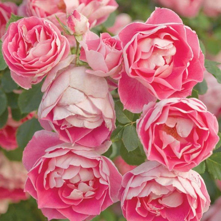 rosa-carefree-beauty-2