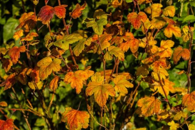 Уход за смородиной осенью сводится, в основном, к уборке опавшей листвы