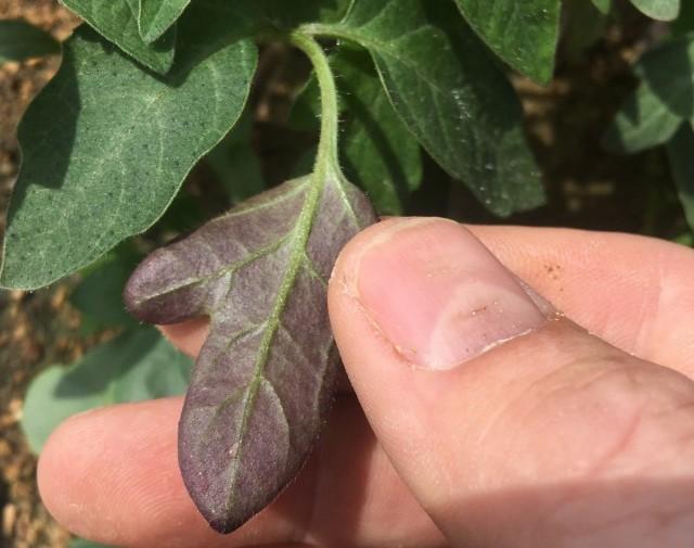 Листья томата сигнализируют о недостатке фосфора