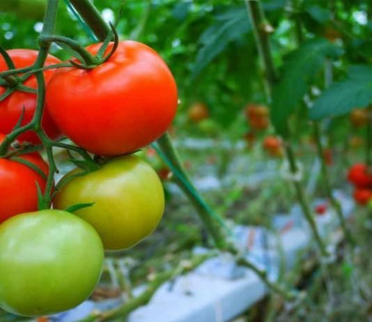 Цветение, формирование завязей, созревание томатов зависят от сорта, климатических особенностей региона и условий текущего сезона
