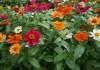Цинния узколистная — особенности выращивания и место в саду