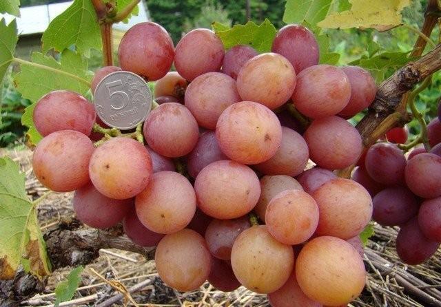 Виноград «Лилия К»