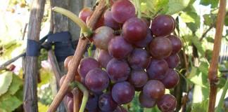 Виноград сорта «Минский розовый», выращенный по описанной технологии