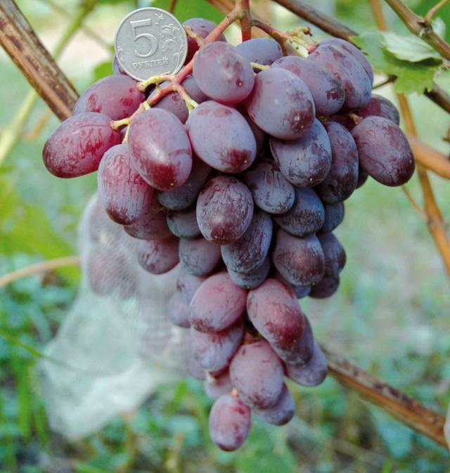 Виноград «Люси красная»