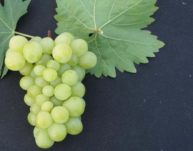 Виноград «Нежность»