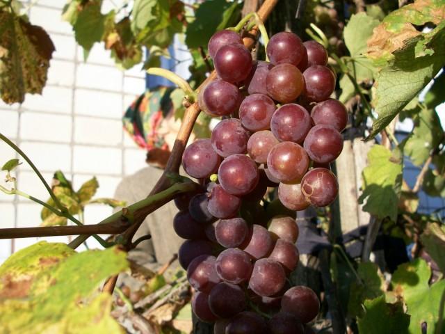 Сладость ягод зависит от освещенности и подкормок: чем больше солнца и регулярнее «перекусы» у винограда, тем богаче сахаром плоды
