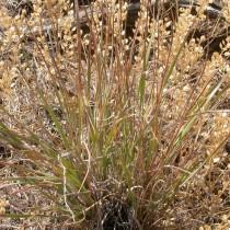Житняк пустынный, или Узкоколосый (Agropyron desertorum)
