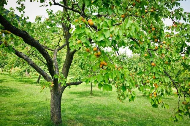 Лучше всего выделить абрикосу отдельное место, подальше от других культур