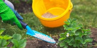 Землянику садовую удобряют аммиачной селитрой, начиная со второго сезона