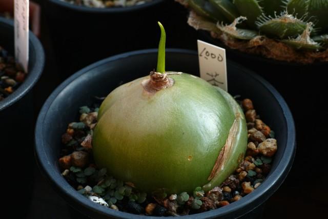 При первом взгляде луковицы напоминают репу или гигантский зеленый редис