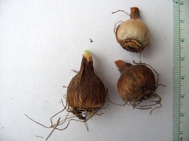 Луковицы бродиэи