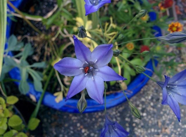 Цветки у бродиэй кажутся поразительно изящными