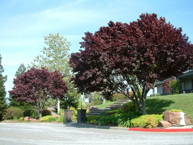 Слива вишнеплодная (Prunus cerasifera)