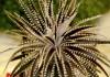 Диккия — самая выносливая среди бромелиевых