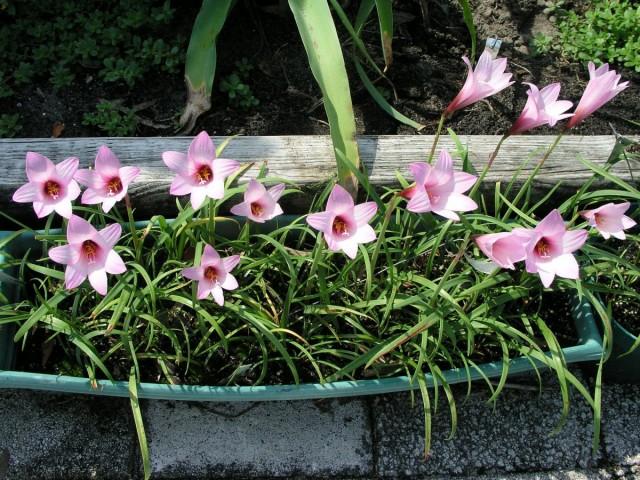 Летом габрантусы полезно выносить на свежий воздух - это лучшая профилактика против болезней и вредителей
