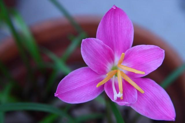 Габрантусы выращивают и по одной луковичке в миниатюрных емкостях, и по 2-3 растения в одном некрупном кашпо