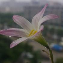 Габрантус мощный (Habranthus robustus)