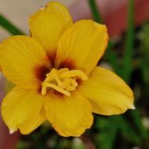 Габрантус трубчатопокрывальный (Habranthus tubispathus)