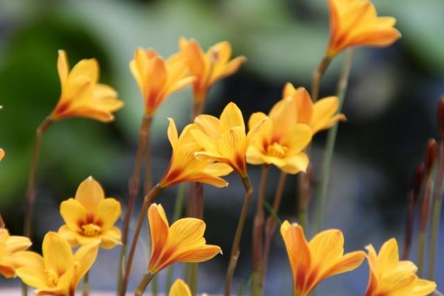 Цветовая гамма окраса габрантусов обычно сводится к розовому, но сегодня выведены и желтые, и оранжевые сорта