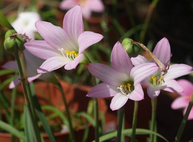 Комнатные габрантусы — неприхотливая нежность