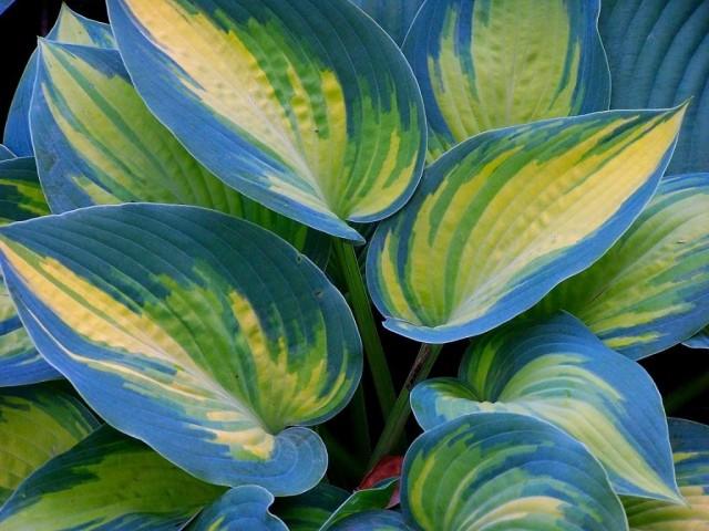 Хосты обожают качественный грунт с активной биосредой