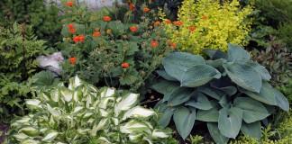 Хосты — выбор места в саду и посадка