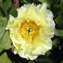 Ито-пион, сорт «Жёлтый рай» (Yellow Heaven)