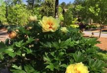 Ито-пионы — история селекции, лучшие сорта и уход