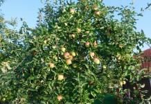 Календарь ухода за яблоней по месяцам