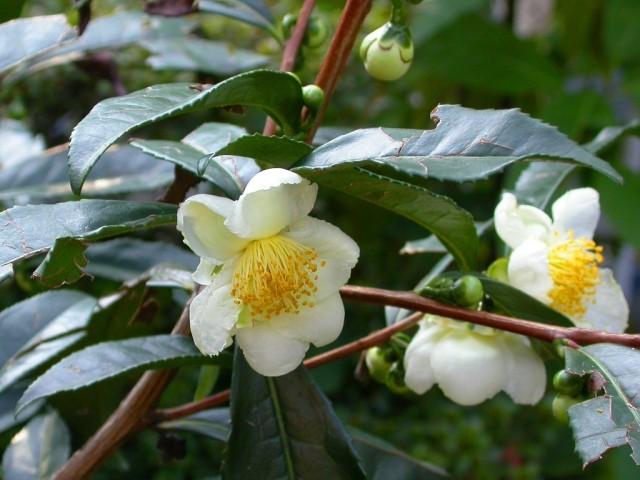 Цветение чайного куста