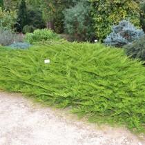 Можжевельник казацкий «Cupressifolia»