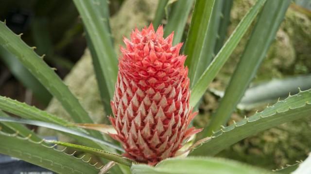Псевдананас — отличная альтернатива комнатным ананасам