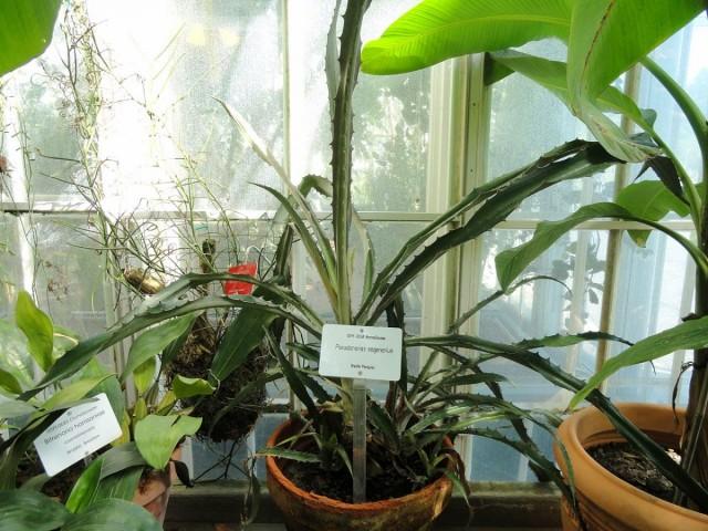 Взрослые розетки листьев псевдананаса становятся все более «дикими» на вид