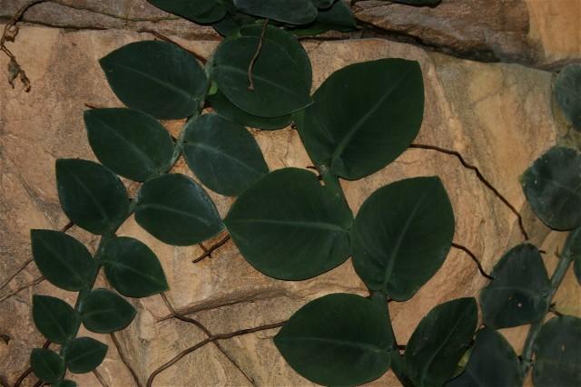 Рафидофора – растение мощное и быстро растущее, требующее регулярной обрезки