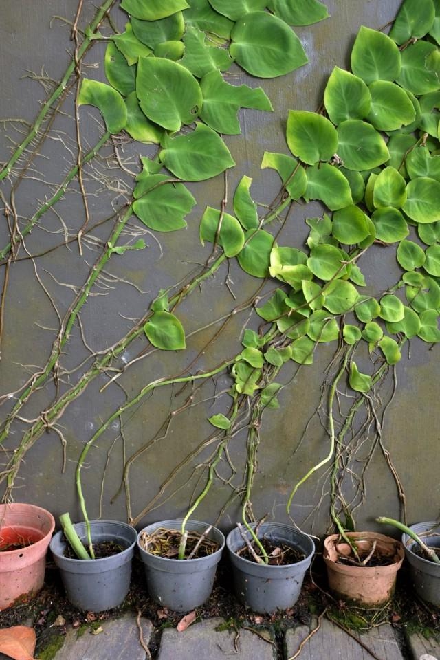 Рафидофора в комнатных условиях размножается только вегетативно