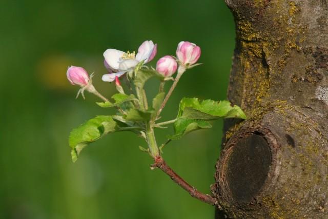 Профилактические обработки яблони весной от болезней и вредителей можно проводить строго до или после цветения