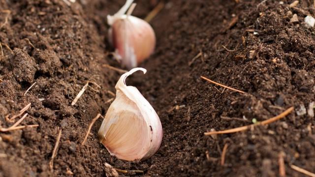За две недели до заморозков высаживают лук-севок и озимый чеснок