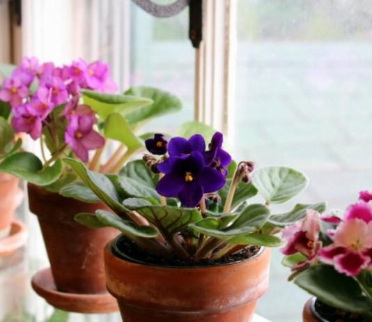 5 лучших цветущих комнатных растений для северных окон
