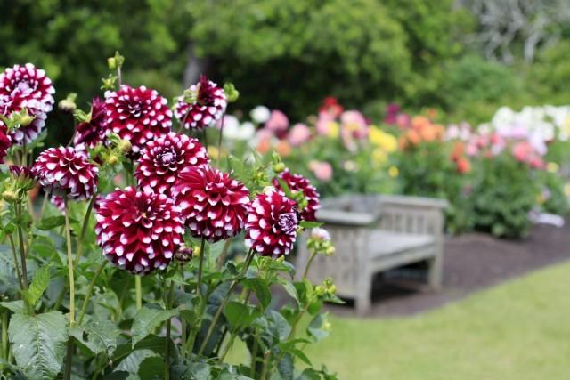 Георгины в саду — описание, классификация, использование