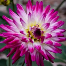 Кактусовая георгина (C, Cactus dahlias)