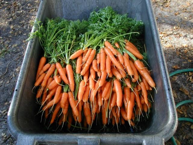 Для длительного хранения подходят далеко не все сорта моркови