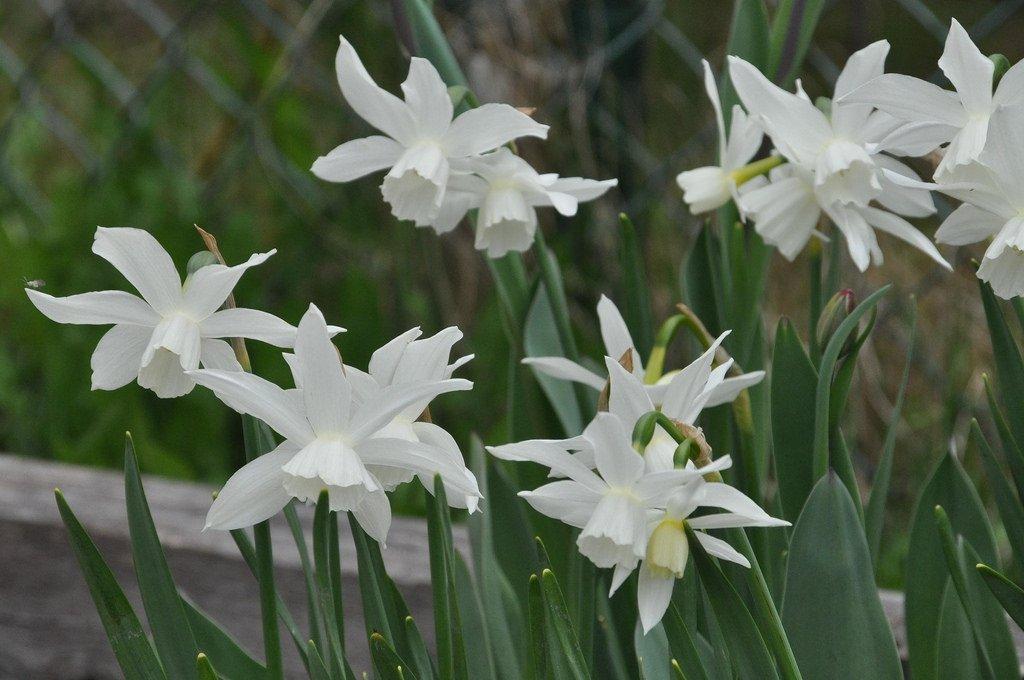 narcissus-thalia-2