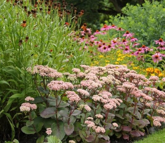 Очитники в саду — виды и сорта, уход, размножение
